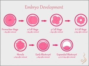 Embryo-Development-466x350